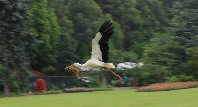 nestbau-storch