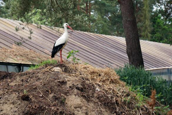 Hebammenmangel, Storch, Misthaufen